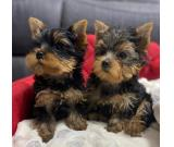 Lovely Yurkie Puppies