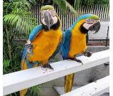 Lovely Male And Female Macaws