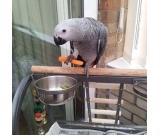 African grey well trained