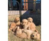 Golden Retriever Puppies For  rehoming At Low Cost