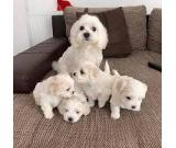 Home raised maltese puppies for rehoming contac via whatsapp: +971 543 823 481