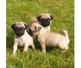 Lovely Mini Pug Puppies Ready Now For a New Home