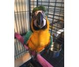 Medina-Blue And Gold Macaw For Sale