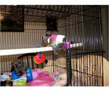 Affectionate Outstanding Marmoset Monkeys for adoption