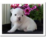 Healthy English Bulldog Puppies