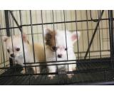 quality chihuahua  puppies available ready