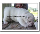 Awesome white and brown English bulldog puppies