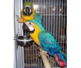 Pair of Macaw parrots ready for a new home