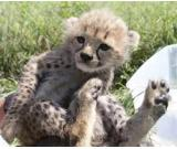 Chetahs,Lion,and Tiger cubs available