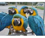 Macaws,parrots,cockatoos,amazons.chicks for sale