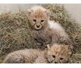 Home trained leopard, lion, liger and cheetah cubs for sale.