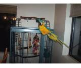 Talkative African Grey & B/G Macow parrots For Rehoming..