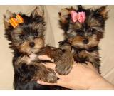 ~*~Teacup Yorkie Puppies TEXT/CALL (458) 202-6083