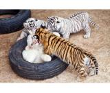 Exotic big cats cubs example cheetah, tiger, margay, ocelots, fennec fox, Jaguar Kittens for sale