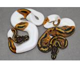 Albino and piebald ball pythons (male and female)