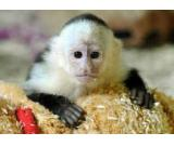Twin Finger Marmosets,Capuchin Monkeys Available