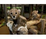 Healthy Cheetah cubs, lion cubs and tiger cubs.
