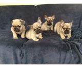 *reduced* 5 Gen Pedigree Frenchie Puppies For Sale