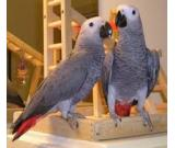 parrots and fertile parrot eggs for sale (267) 368-7695