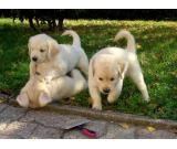 2 Akc Purebred Golden Retriever Puppies Available