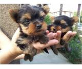 Awesome Young Male and Female Yorkie