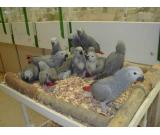 Healthy Fertile Eggs and Parrots for sale.