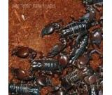 Rain Forest Black Scorpion For Sale