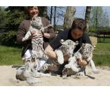 we got white Tiger,Cheetah and Lion cubs for sale will be coming with ownership papers