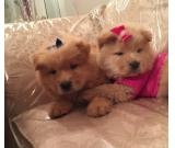 Adorable Chow Chow Puppies Available Now