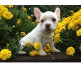 male and female french bull puppies for sale for xmas