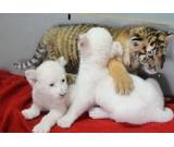 We have very healthy and gorgeous tiger cubs and cheetah cubs for sale