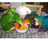 Talking parrots and fertile parrot eggs for sale