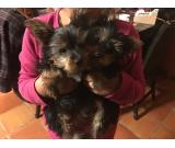 CUTE Little YORKIE Puppies, Magnificent Yorkie Terrier Puppies