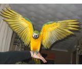 my blue and gold macaw