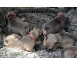 Sweet French Bulldog Puppies Ready to Go - (502) 414-3995