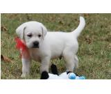 cute labrador puppy ready for a new home