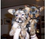 Extra Charming Teacup Yorkie Puppies Text (419) 635-7149