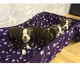 Gorgeous Boston Terrier puppies for sale