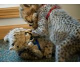 Cheetah Cubs for sale|Tiger cubs for sale|Lion cubs for sale