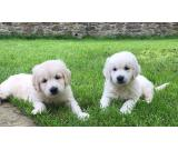 Xist Gentle Neture Golden Retriever Puppies Available