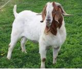 Boar  Goats for Sale