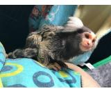 Four marmoset monkey available for sale (male $ Female)