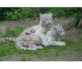 Lovely And, White Tiger Cubs, Cheetah Cubs, African Serval For Sale