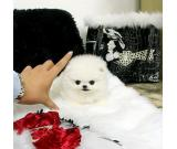 Sweet Teacup Pomeranian Puppies available