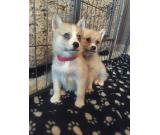 Beautiful Pomsky Puppies for sale