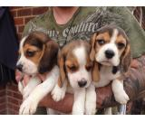 Beagle Pups Ready Now