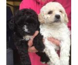 Beautiful fluffy pure bred Bichon Frise puppies.