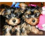Home Raised and House Broken Yorkies Available