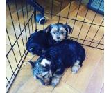 male and female 3 months old yorkie puppies available for re homing