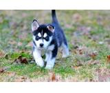 Excellent breed ** pomsky puppies new homes TODAY